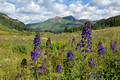 2015_Crested_Butte_CO_Wildflowers